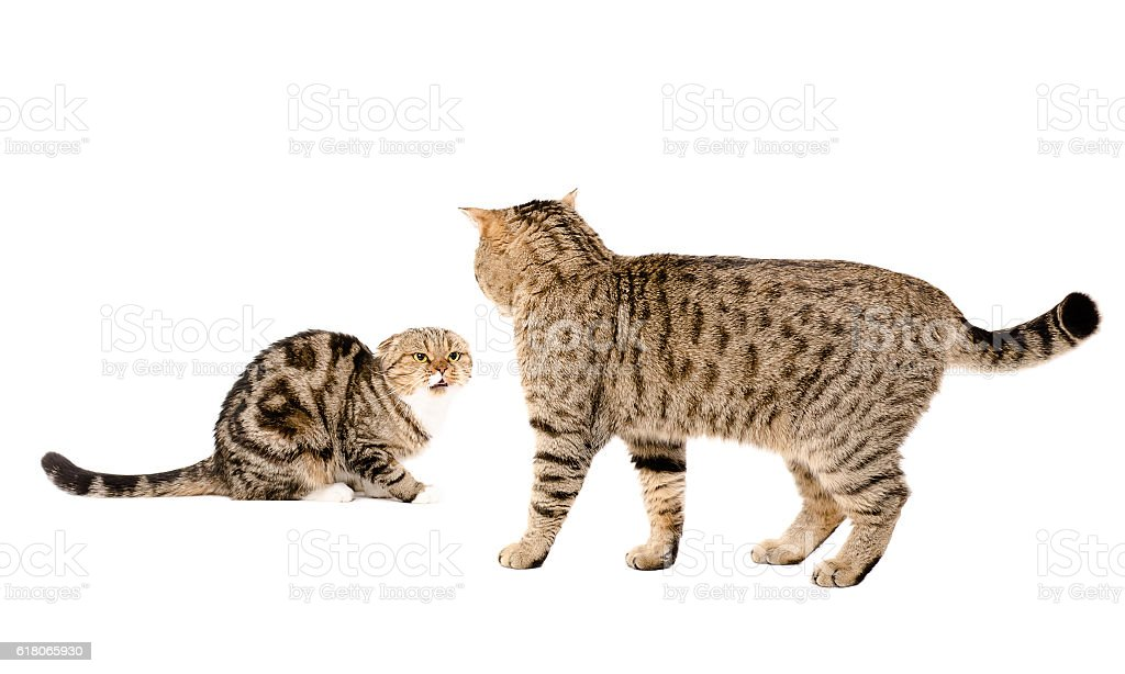 Cat attacks cat stock photo
