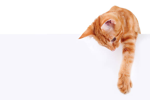 Cat banner sign picture id185160481?b=1&k=6&m=185160481&s=612x612&w=0&h=ertjnxa6ckbua2 nzyqg3bu0y2qspaesjy8k7thvrvu=