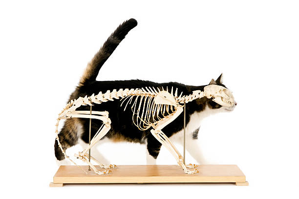 Cat behind a cat skeleton Isolated on white. Horizontal image. cat skeleton stock pictures, royalty-free photos & images