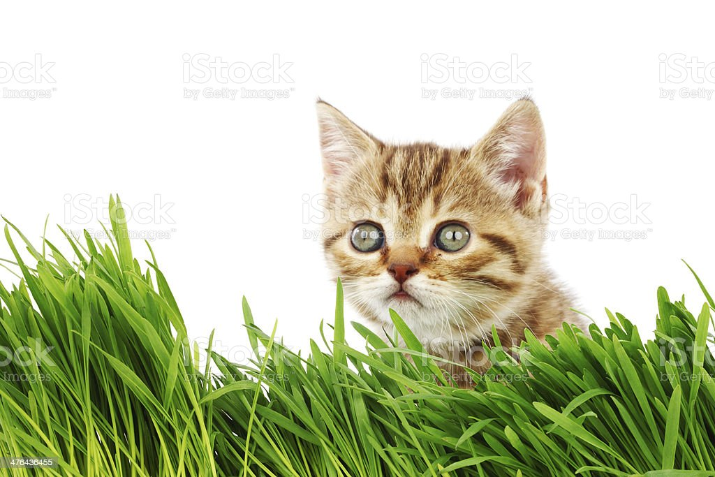 cat behind grass royalty-free stock photo