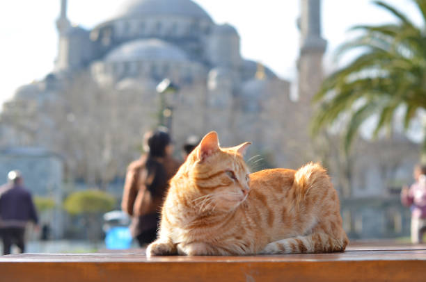 Cat behind of sultanahmet mosque picture id1147246281?b=1&k=6&m=1147246281&s=612x612&w=0&h=zstyytbuvjkrn49swrsefwvx h b3xit4needtmpyee=
