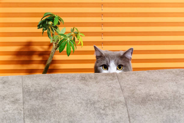 Cat behind sofa against orange background stock photo