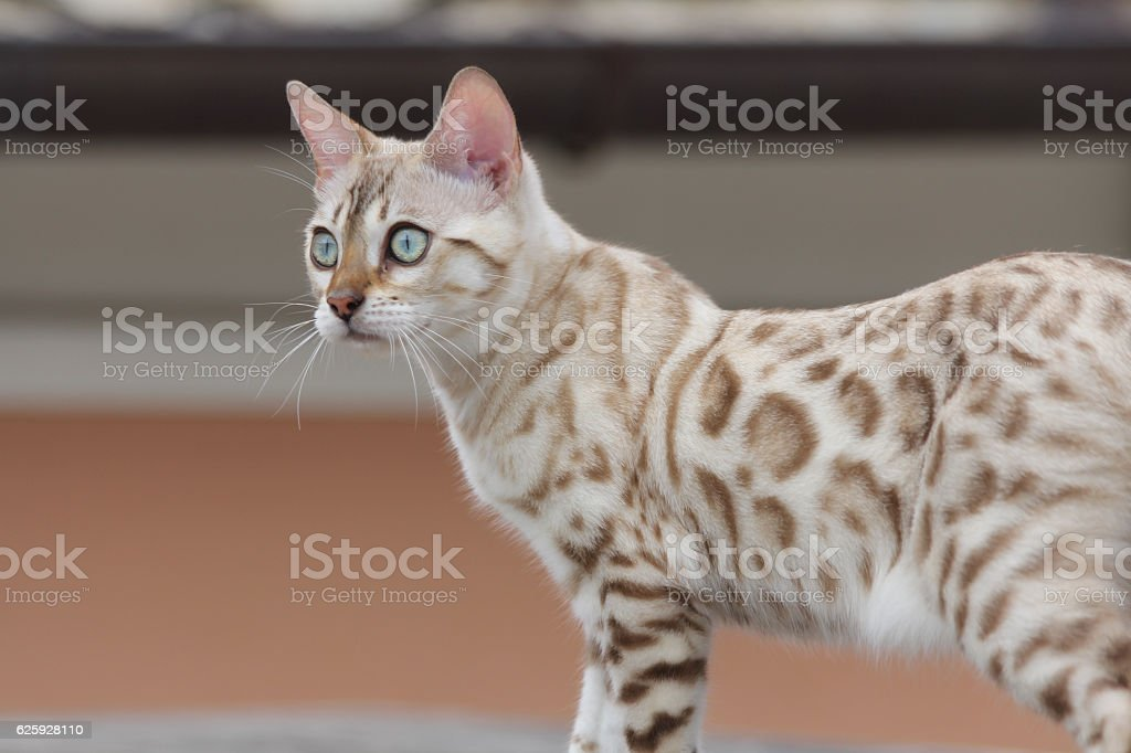 cat bengala stock photo