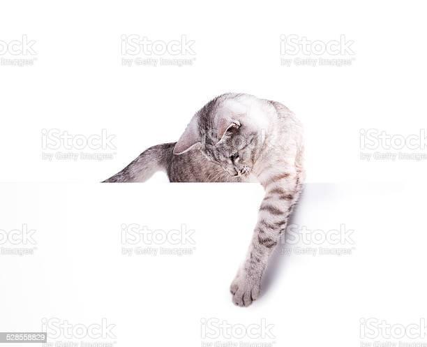 Cat blank poster picture id528558829?b=1&k=6&m=528558829&s=612x612&h=squ tnycdq j8gmcxyjp2zus7m8derwkcygcgmdopvu=