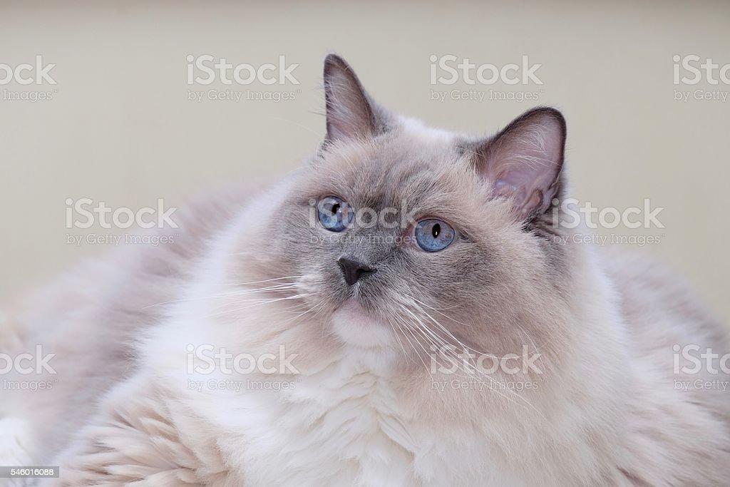 Cat blue eyes. stock photo