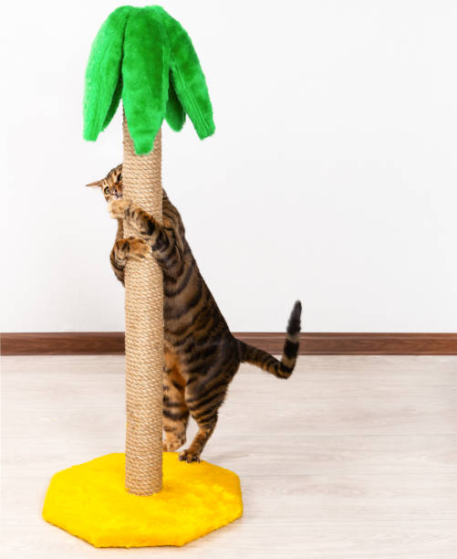 Cat breed toyger sharpening claws on claw sharpener picture id1069730478?b=1&k=6&m=1069730478&s=612x612&w=0&h= 9 7hzlq9wp ck xv3ev0oj55sepgaiihwaqjx box0=