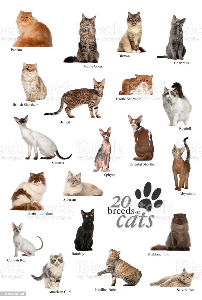 Cat Breeds Poster In English Stock Photo Download Image Now Istock