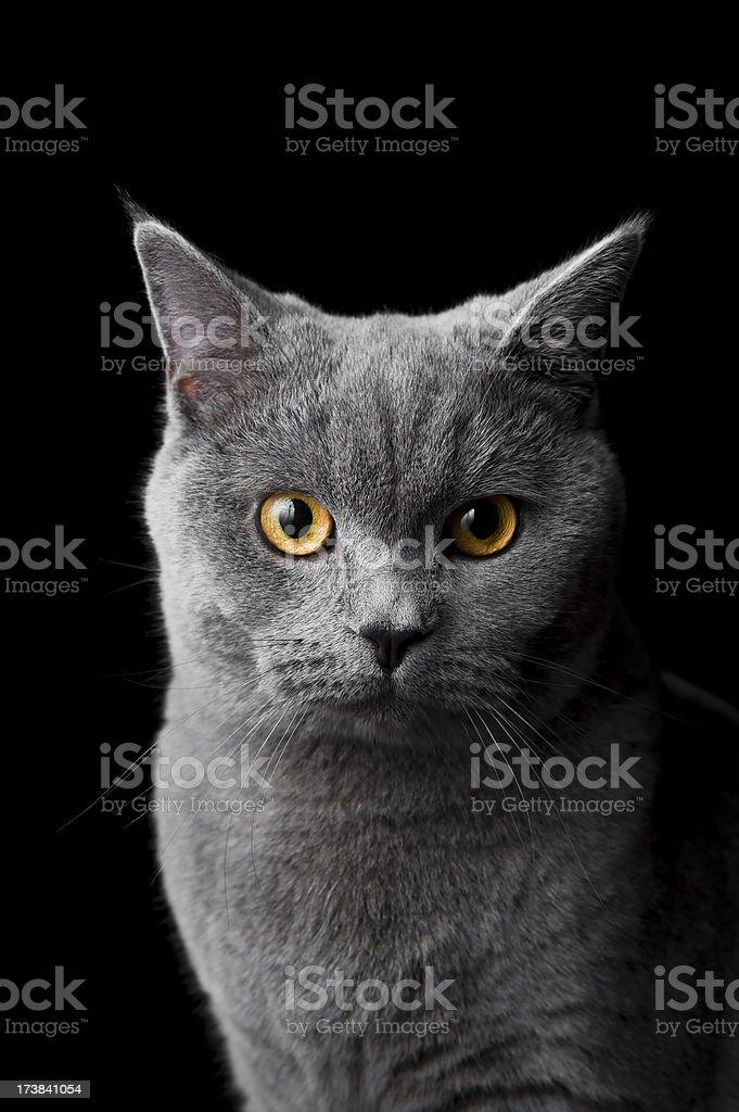 Cat british shorthair kitten isolated on black stock photo