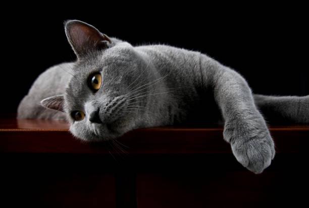 Cat british shorthair posing for camera picture id108267605?b=1&k=6&m=108267605&s=612x612&w=0&h=np6orgacokqlpugp5eaae3p2bvnqz3omy25qu7wmd2m=
