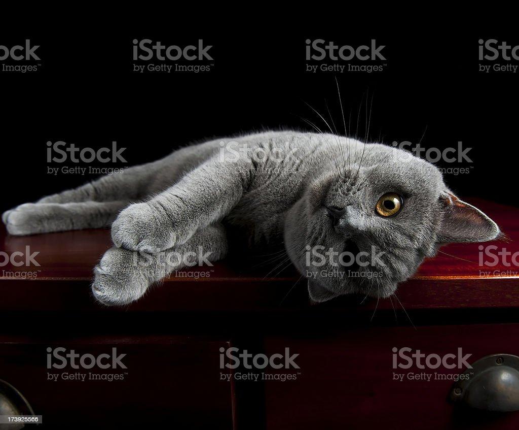 Cat british shorthair posing for camera stock photo
