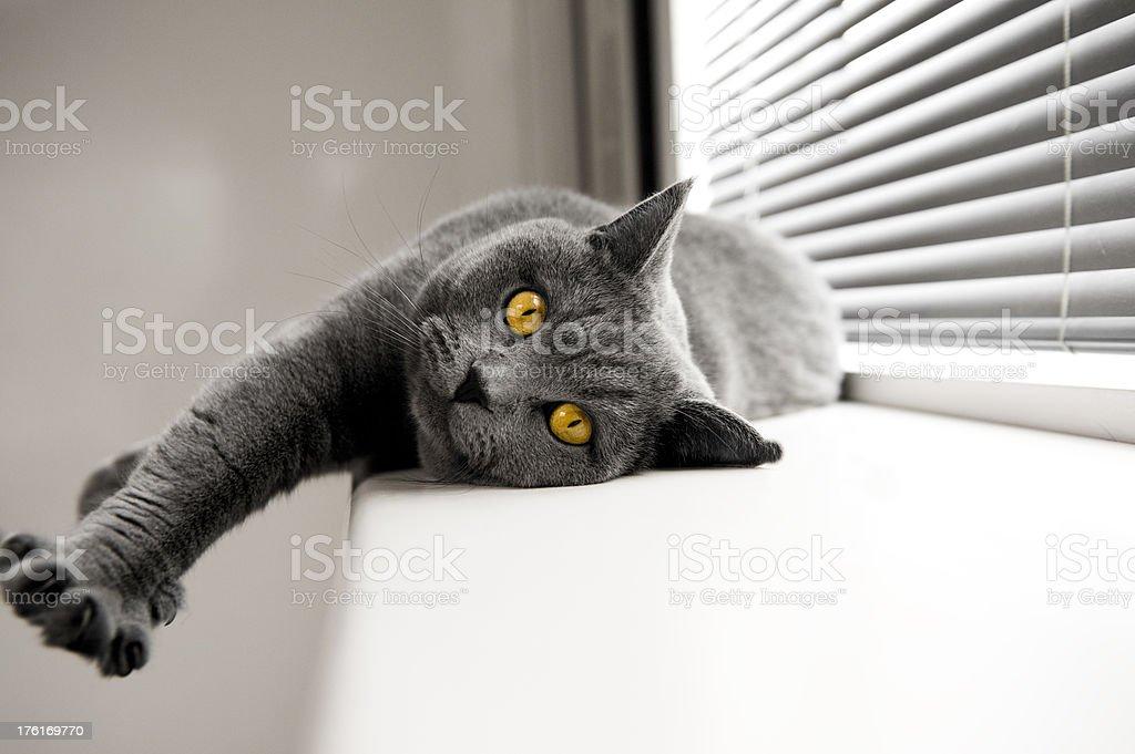 Cat British Shorthair yellow eyes lying next to window stock photo