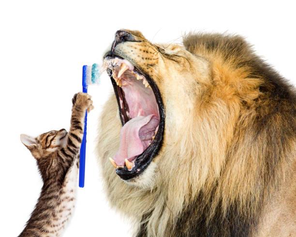 Cat brushing lions teeth picture id649090698?b=1&k=6&m=649090698&s=612x612&w=0&h=xys5gbhr5edwxi z 88ddse4dlul6ufgvemtn3hyz0w=