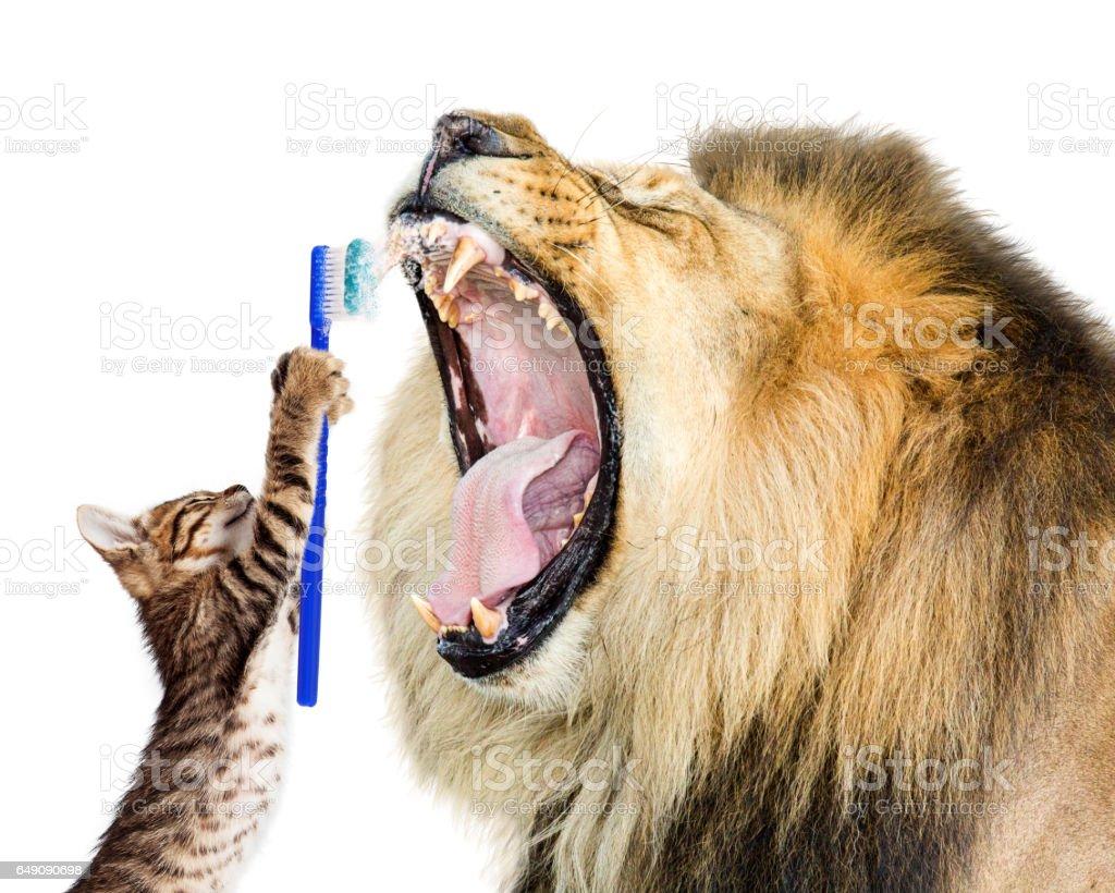 Cat Brushing Lion's Teeth stock photo