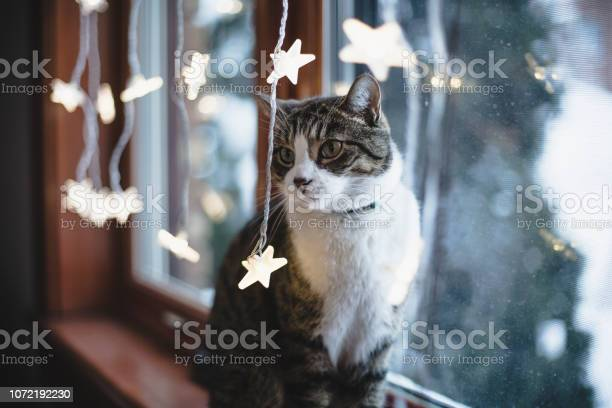 Cat by a window with christmas light decoration picture id1072192230?b=1&k=6&m=1072192230&s=612x612&h=erbotcjjboue0d7dtxjf84jzfsz2k5neyua6xy9hnog=