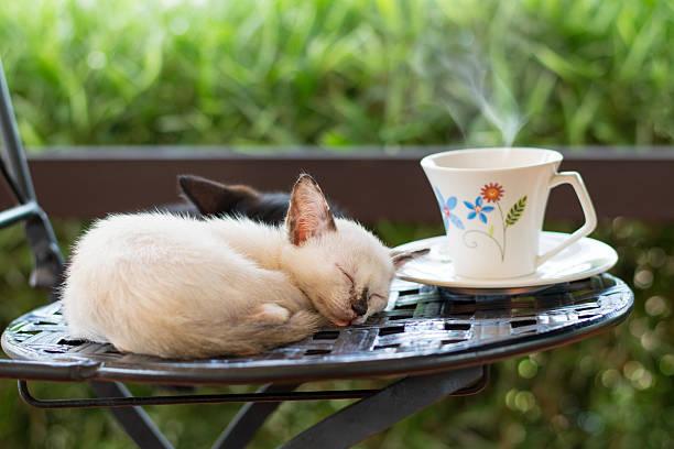Cat cafe cute kitten sleeping on a chair picture id485647352?b=1&k=6&m=485647352&s=612x612&w=0&h=okahzlti 67nni4sgiwhcte0139vjo0v2d njpazuxo=