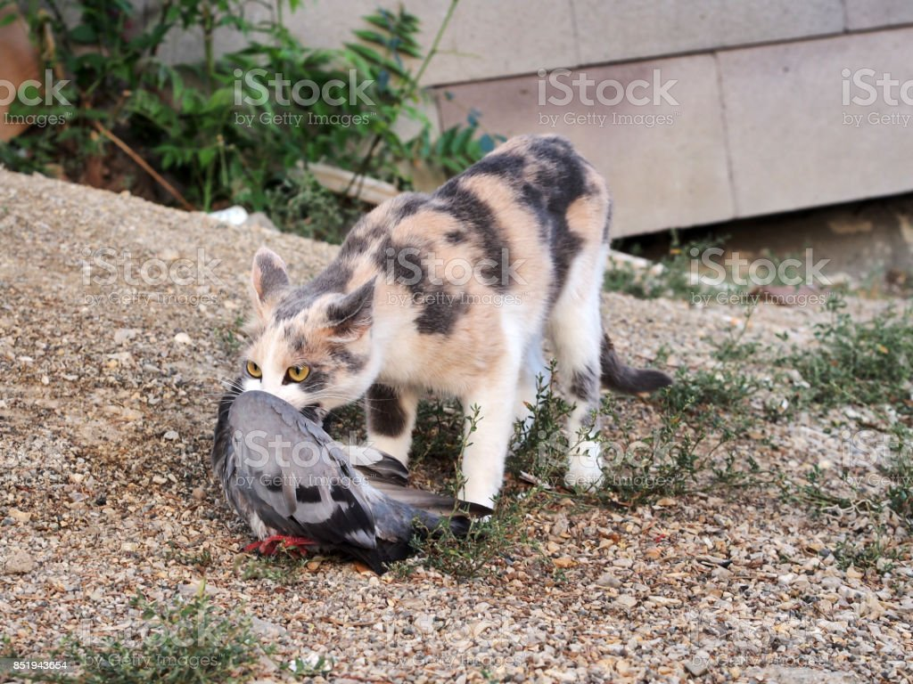 cat carrying the bird in mouth stock photo
