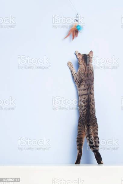 Cat catches with a feather toy picture id693580214?b=1&k=6&m=693580214&s=612x612&h=2b3 ku ohr r4ohimpbai9t61rqo7iirs5wubfegwks=