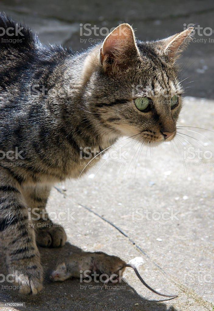 Katze Fangen Der Maus In Yard Stockfoto Und Mehr Bilder Von 2015