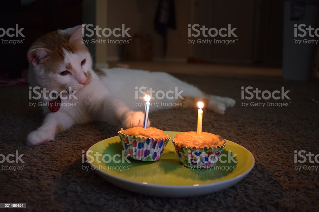 Cat celebrates 2nd birthday with cupcakes! foto stock royalty-free