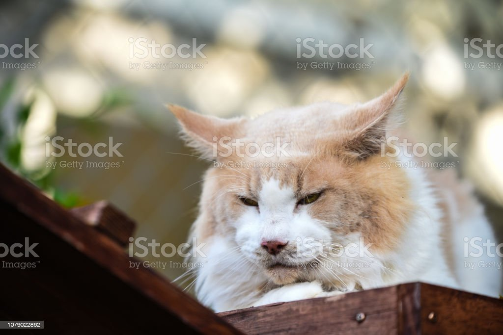 Cat chilling in green garden in daytime lighting.  Red white cat sitting out door in a park. Orange cat looking behind plants in green garden. Yellow eyes cats. Maincoon cat. stock photo