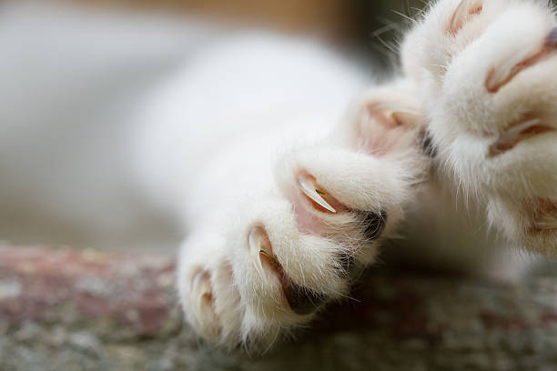 Cat Claws Close-up of cat paw with claws out. claw stock pictures, royalty-free photos & images