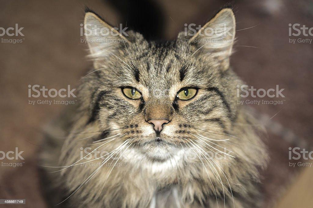 Cat close up photo. Animal portrait stock photo