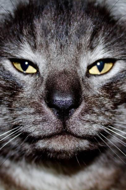 Cat close up picture id921939676?b=1&k=6&m=921939676&s=612x612&w=0&h=fjisi zl5onfx0a sy6n46r1yvw0glncrxjvr3z6iqs=