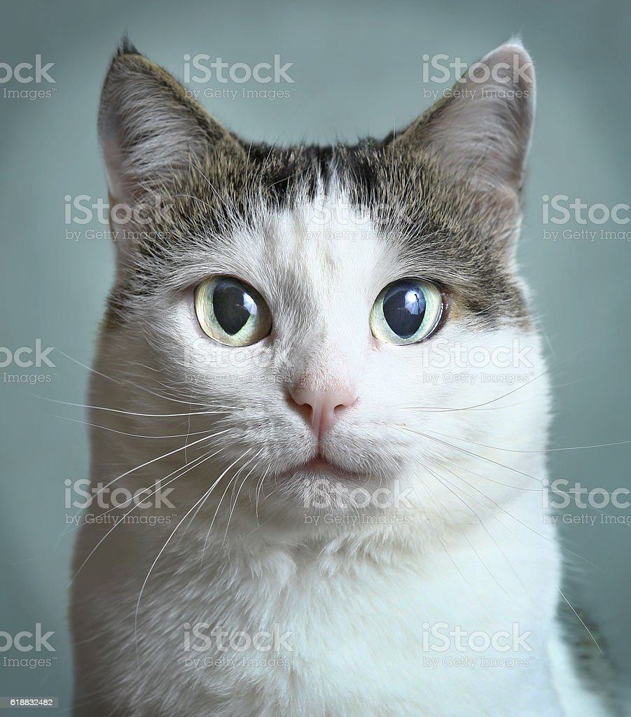 cat close up portrait on blue wall background stock photo