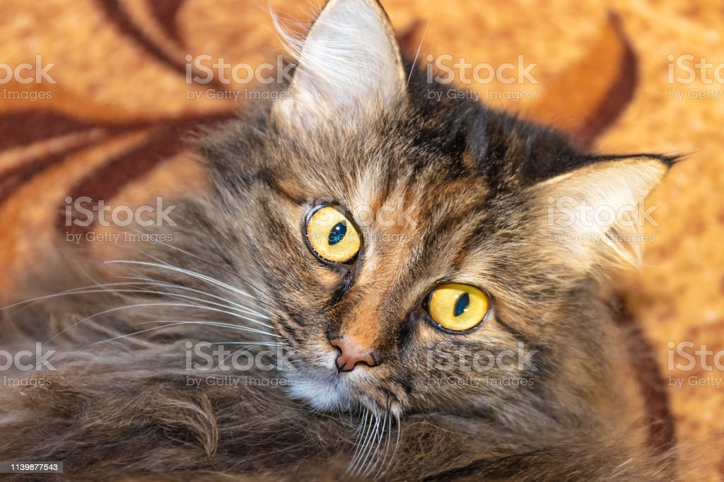 Fluffy domestic cat with wide open eyes looks surprised.