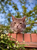 Pet domestic mackerel tabby staring intently from top of garden wall. Shot from below.