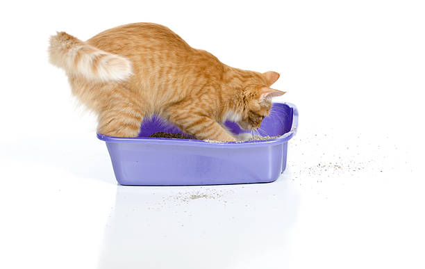 Cat Digging In Litter box stock photo
