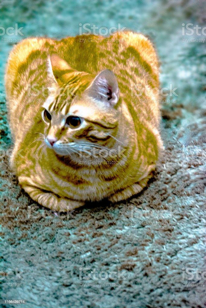 Cat, Gato, Feline Domestic