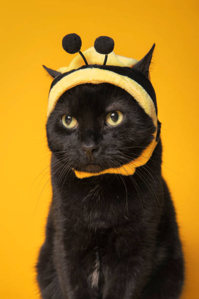 Cat Dressed as Bumble Bee and Kind of Mad About it A humorous image of a black cat in a bumble bee hat and looking kind of mad about it. sdominick stock pictures, royalty-free photos & images