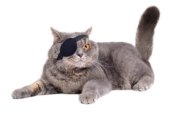 Cat dressing in pirate costume British cat dressing in caribbean pirate costume with eye patch costume eye patch stock pictures, royalty-free photos & images