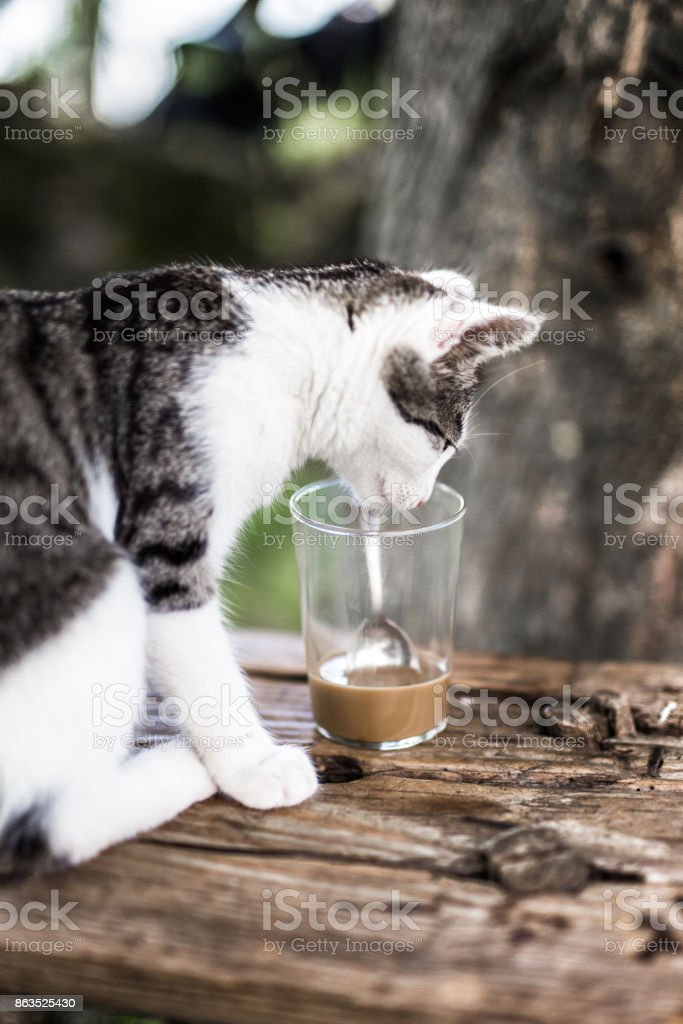 Striped cat drinking coffee with milk. He put his head into the...