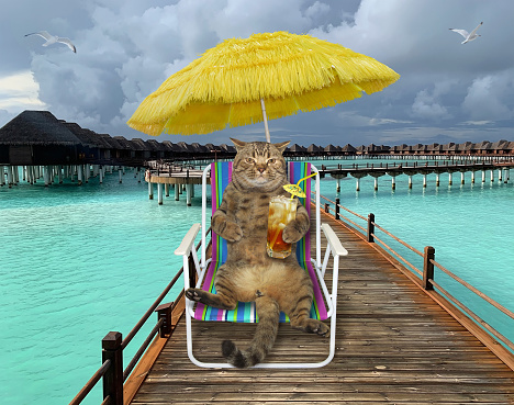 Cat drinks cold tea on wooden pier
