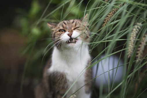 cat eating catgrass