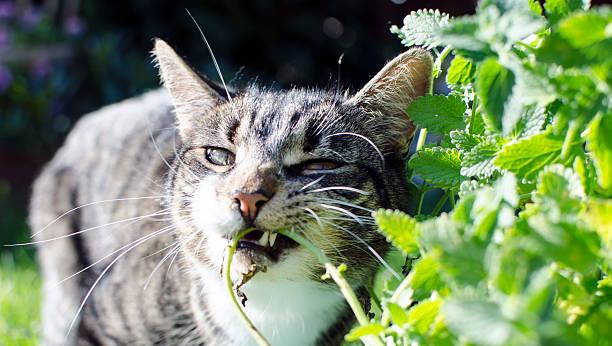Cat eating catmint picture id483750465?b=1&k=6&m=483750465&s=612x612&w=0&h=rixpnulo39ovdbikvnbuo7bhmc1brsyzg2jjy5zdzp8=