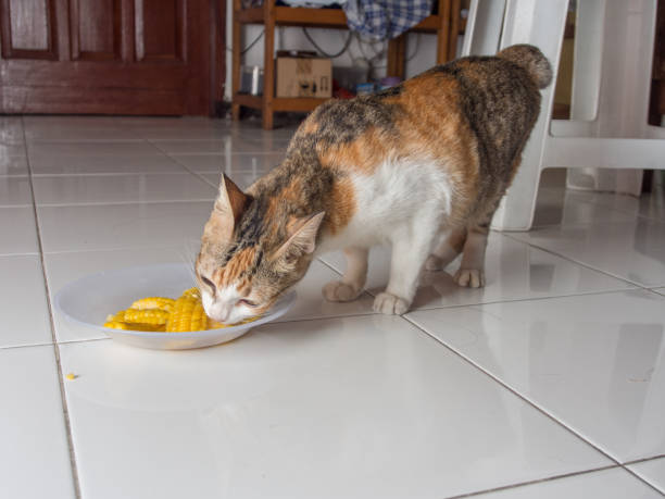 Cat Eating Corn stock photo