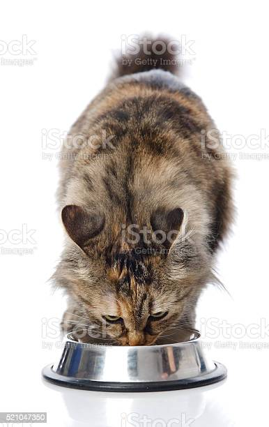 Cat eating food isolated on white background picture id521047350?b=1&k=6&m=521047350&s=612x612&h=i02pv8cjrqtutaue3fs5n7n1g5vyehm3qwiwx3ebks8=