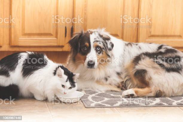 Cat eating food with dog nearby picture id1063967446?b=1&k=6&m=1063967446&s=612x612&h=ubjryruxm igymnx7npzmksxfa dlktqyhd oeuh b0=