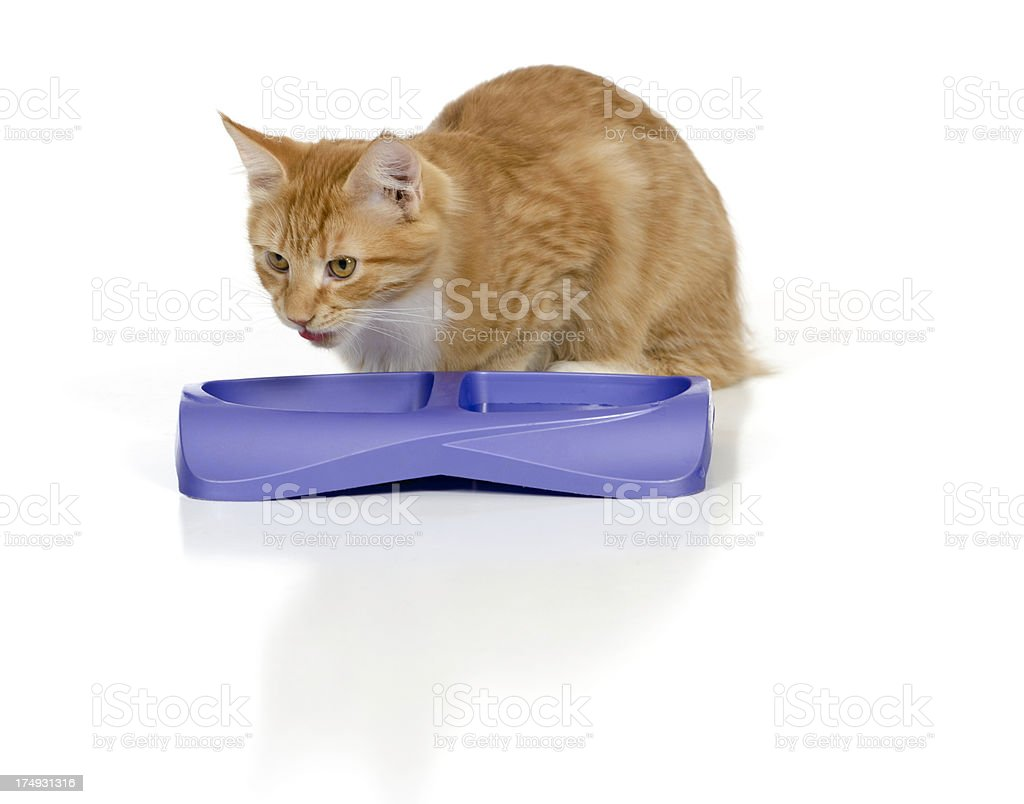 Cat Eating from a Purple Food Dish stock photo