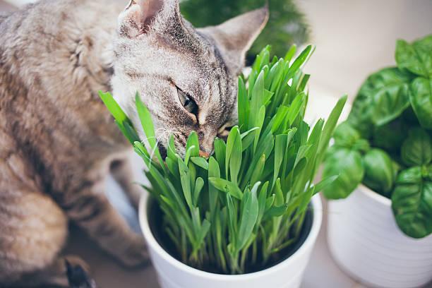 Cat comer hierba - foto de stock