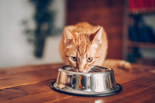 Cat eating out of bowl