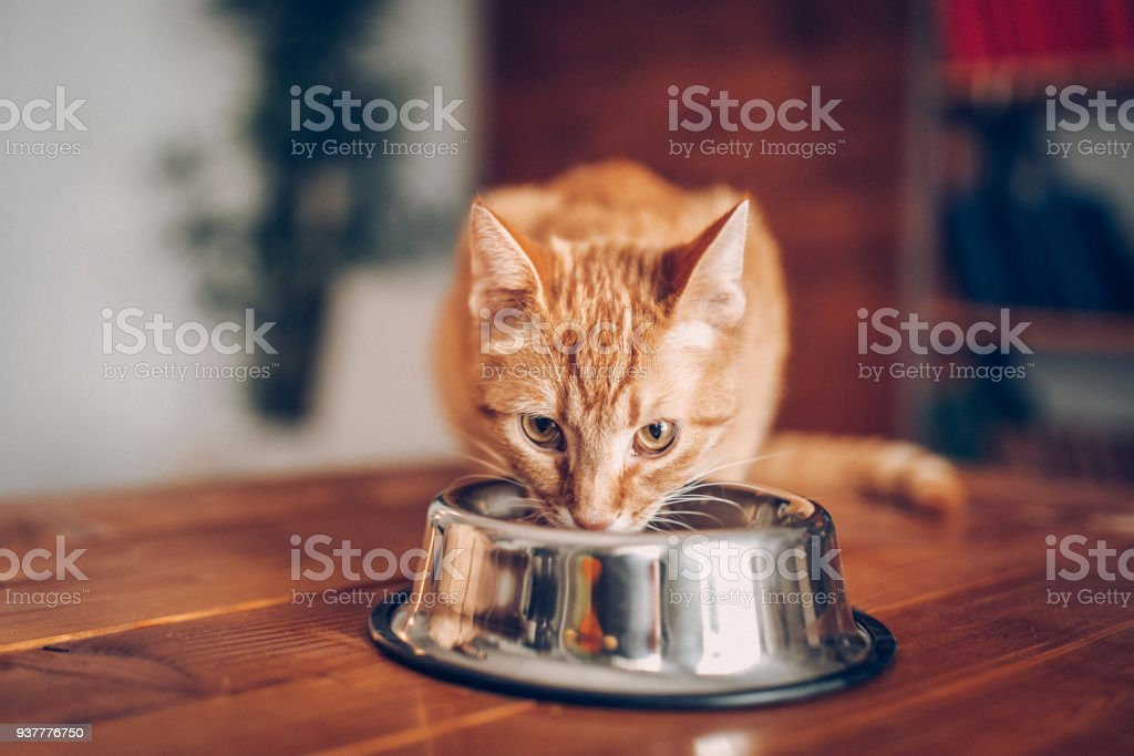 Cat eating out of bowl stock photo