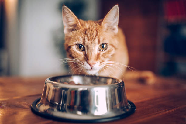Cat eating out of bowl Cat eating out of bowl undomesticated cat stock pictures, royalty-free photos & images