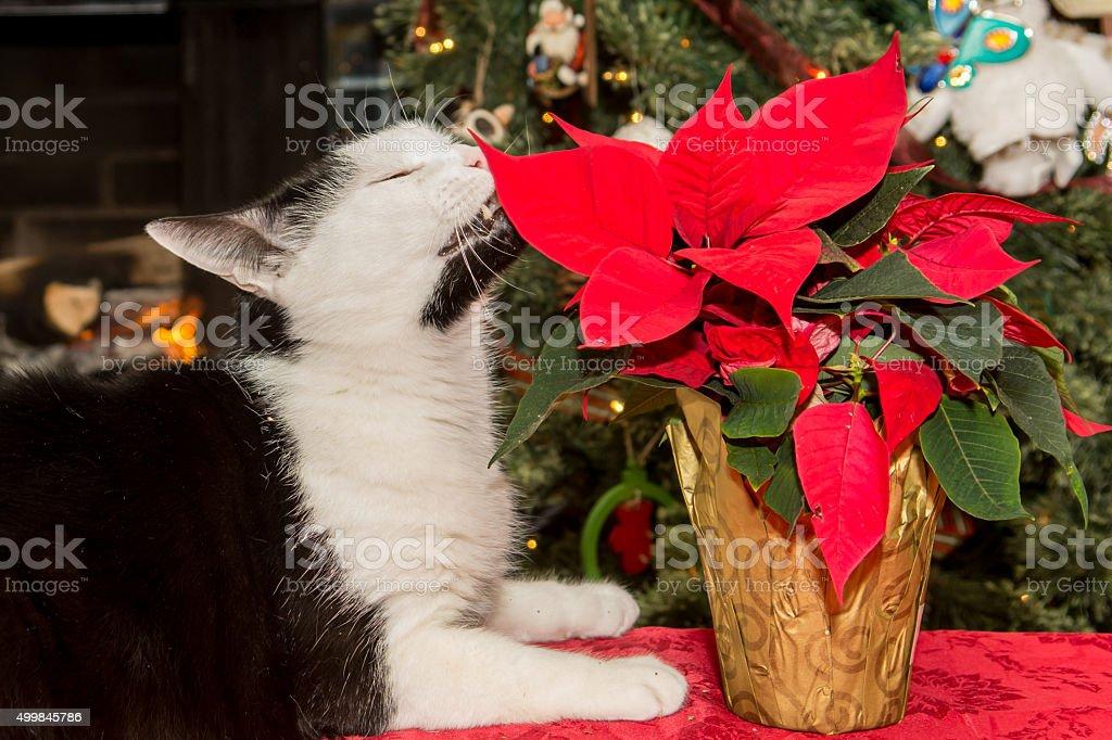 Cat Eating Poinsettia stock photo