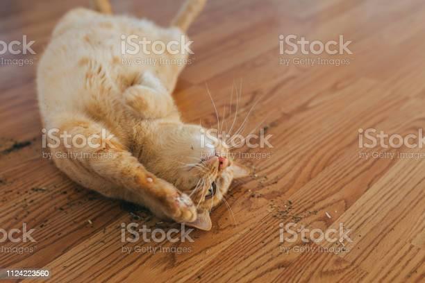 Cat enjoying a catnip picture id1124223560?b=1&k=6&m=1124223560&s=612x612&h=fh vhzgdty6gojdqpkymy7 oaeqgoixcurqvq1xvenq=