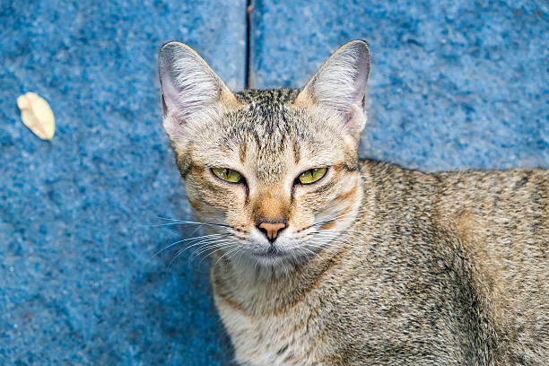 cat eyes yellow looking stare disingenuous hypocrisy on blue background - disingenuous stock pictures, royalty-free photos & images