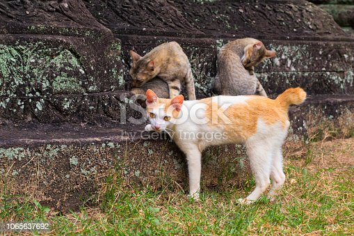 istock Cat family on ancient temple stones. Brown and yellow cats in abandoned ancient temple. 1065637692